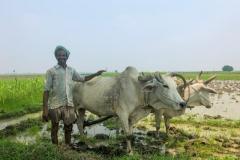 Fattig bonde med sina oxar